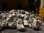 収穫されたアガベ。これからテキーラになる