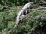コバ遺跡の木登りイグアナ