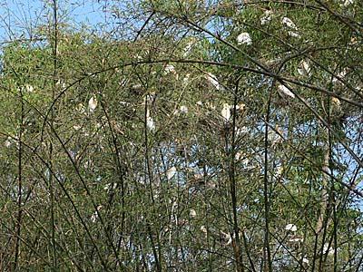 フェワ湖近くの木に大量にいる謎の鳥