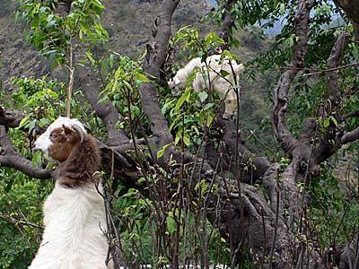 山羊もおだてりゃ木に登る。葉っぱを食べるためなら木も登っちゃう。