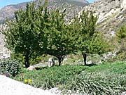 宮崎県の諸塚村から贈られたリンゴの木