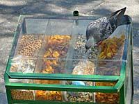 ガラスケースの中の豆を取ろうと必死の鳩