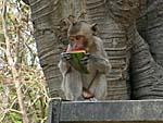 参拝客に西瓜をもらってかぶりつく猿