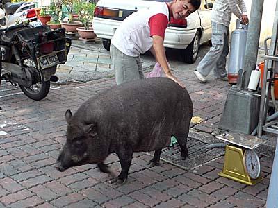 台南の野良化した飼い豚