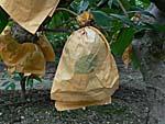 釈迦頭の木の身は袋で保護してある