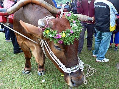花輪でおめかしした牛くん