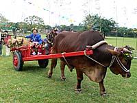 牛車に農具などを積み込み花嫁の元に向かう新郎