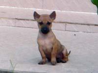 フーコック犬?の子犬。