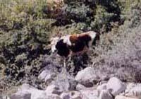 パスーで飼われていた牛