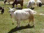 ラダックにいたパシュミナ山羊