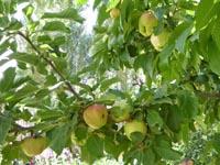 庭になっていたリンゴ