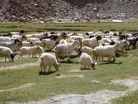 パシュミナ山羊の群れ