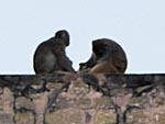 城壁にいる猿