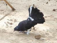 ヨイ寺近くで飼われていた変わった鳩