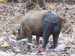 ヨイ寺のラッキー豚