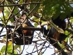 ヨイ寺のフルーツコウモリ