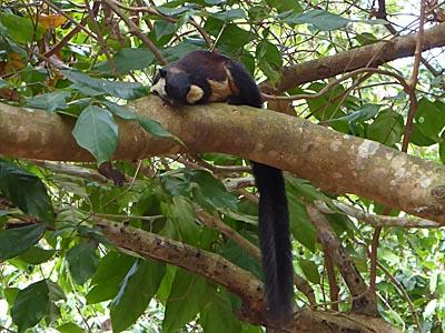 コンダオ島の国立公園内にいる黒いリス?