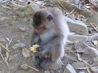 Ong Dungビーチにいる猿