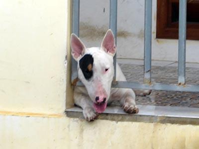 ヴィラメゾン・コンダオ・ブティックリゾートの番犬。ブサカワ